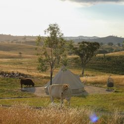 Cows around a bell tent