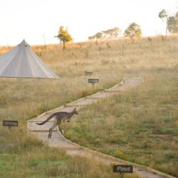 Kangaroo hopping in front of glamping tent and path
