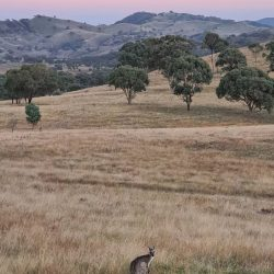 Sunset with pink sky and kangaroo in foreground